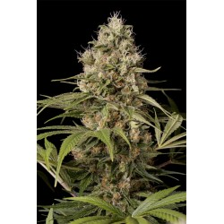 SHARK SHOCK CBD - Dinafem...